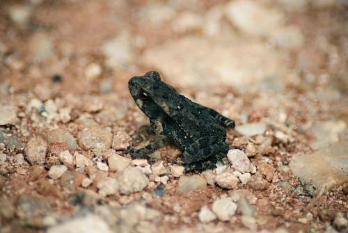 photo amphibian shallow focus photography of black frog frog free for commercial use images