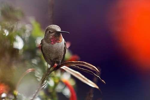 animal focus photo of a hummingbird on leaf hummingbird