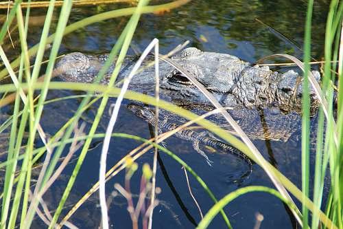alligator black crocodile near linear leafed plants reptile