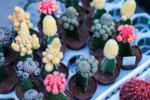 cactus variety of flowering cacti plant