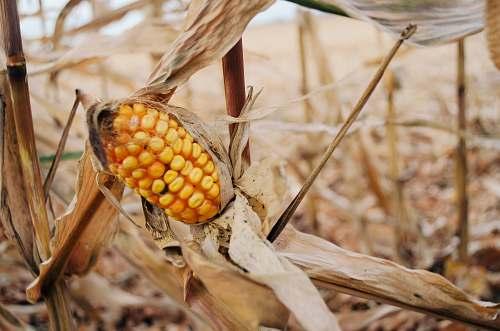 corn shallow focus photo of yellow corn vegetable