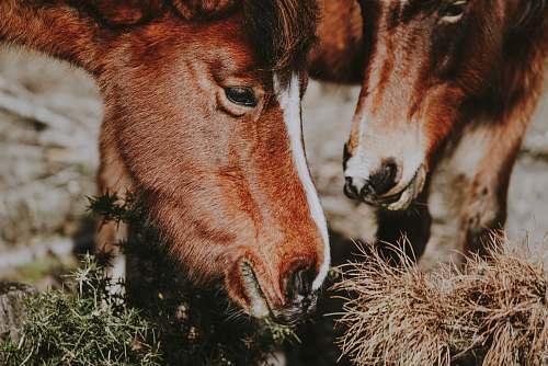 animal close-up photography of two red horses eating grasses mammal