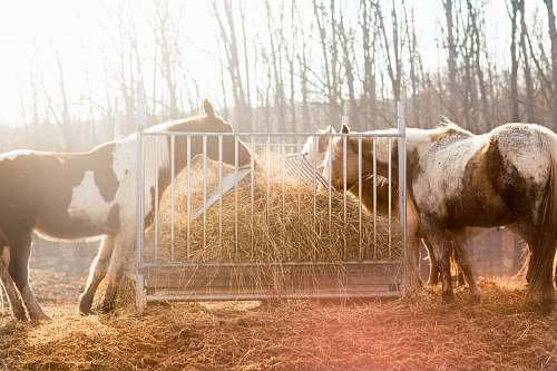 animal group of horse eating hay bull