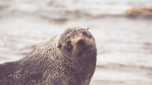mammal brown walrus in rule of thirds photography seal
