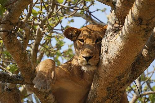 lion lioness lying on gray tree during daytime puma