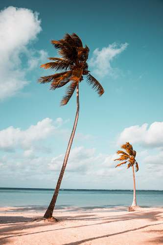 photo tree two coconut palm trees near shore under white clouds during daytime palm tree free for commercial use images