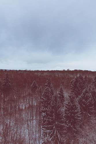 plant A red-hued shot of an evergreen forest under snow nature