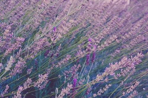 flower field of lavender plants purple