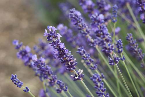 lavender blue-petaled flowers lilac
