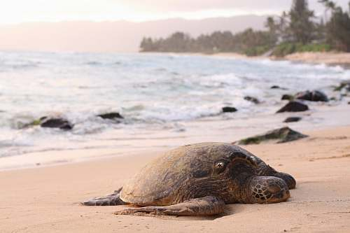 animal shallow focus photography of turtle lying on beach sand during daytime mammal