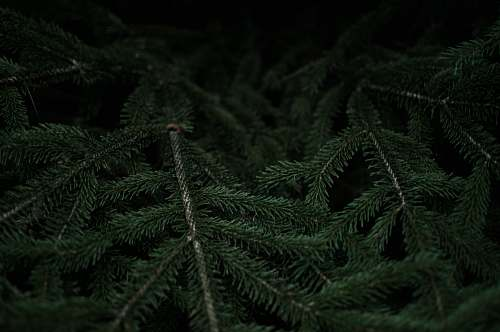 photo forest Close-up of dark green fir branches black free for commercial use images