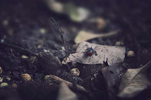 leaf black fly on dried leaf malaysia