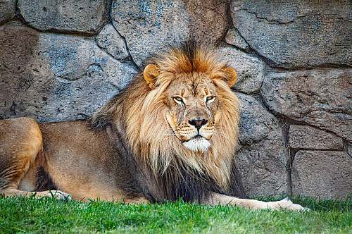 wildlife adult lion resting beside wall mammal