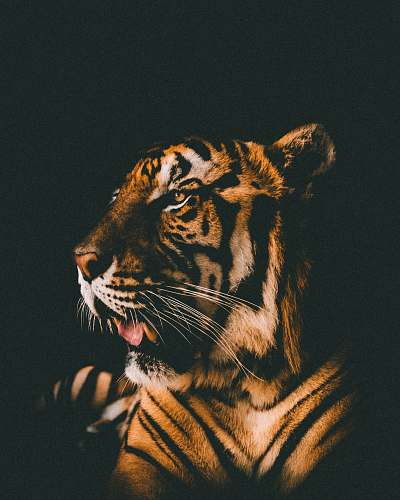 photo cat adult tiger prone lying inside dim lighted room thailand free for commercial use images