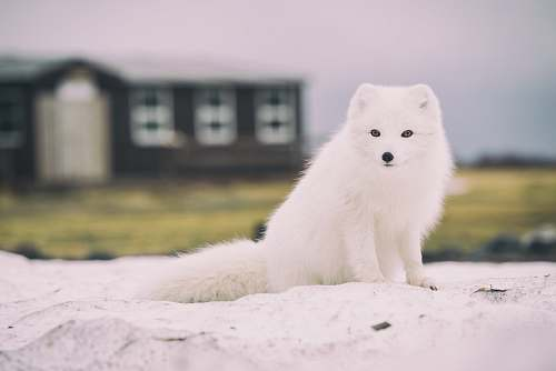 photo fox Arctic Fox arctic fox free for commercial use images
