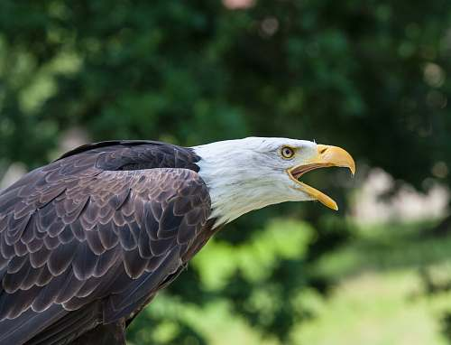 photo bird black bald eagle eagle free for commercial use images