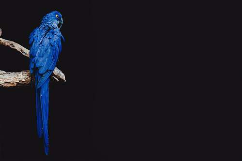 photo bird blue parrot standing on brown tree branch parrot free for commercial use images