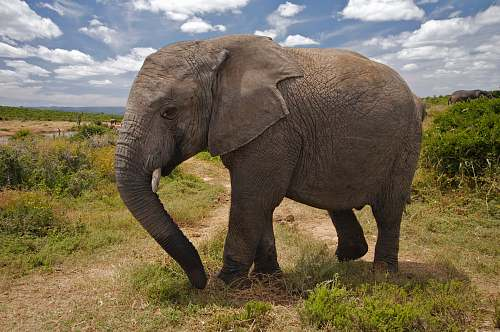 mammal brown elephant elephant