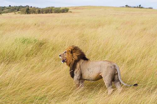 photo lion brown lion on grass field during daytime field free for commercial use images