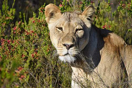 mammal brown lioness in close-up photography lion