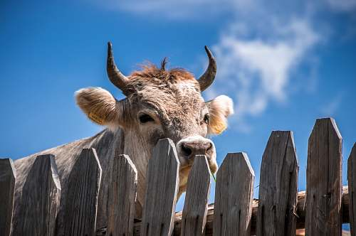 cow cattle behind fence fence