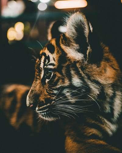 thailand closeup photography of tiger cub tiger