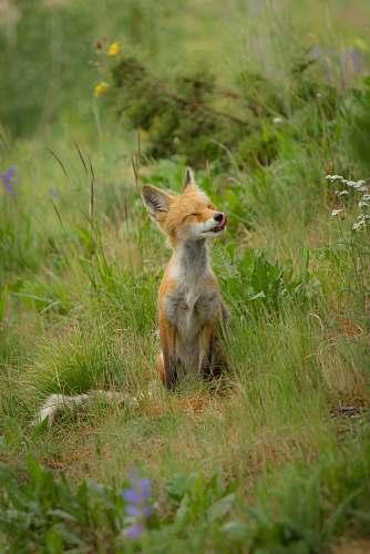 wildlife fox sitting on green grass fox