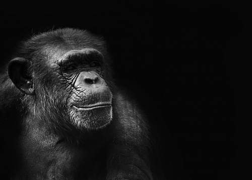 photo black-and-white grayscale photography of ape ape free for commercial use images