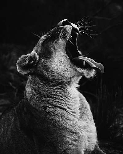photo black-and-white grayscale photography of yawning lioness south africa free for commercial use images