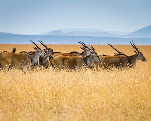 wildlife herd of antelopes on grass field mammal