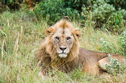 photo mammal lion lying on grass land lion free for commercial use images