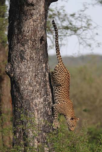photo leopard loepard climbing down on tree during daytime giraffe free for commercial use images