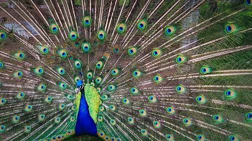 bird peacock expanding his tail during daytime peacock