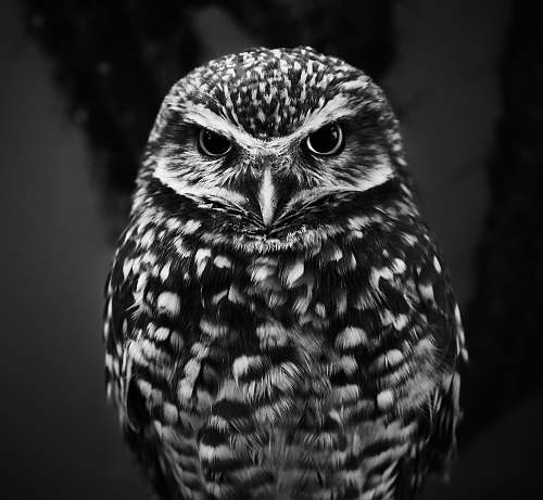 photo black-and-white selective focus grayscale photography of owl bird free for commercial use images