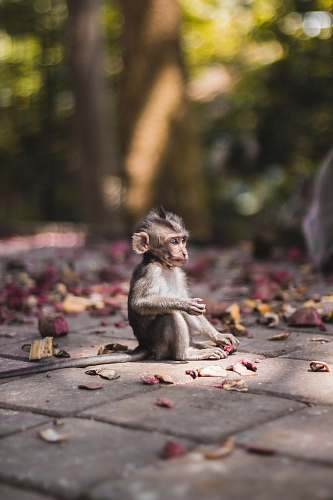 wildlife selective focus photography of brow monkey sitting on brick pavement monkey