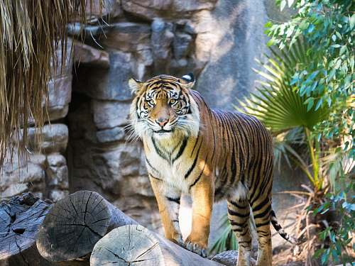 photo wildlife shallow focus of tiger beside green leafed plant mammal free for commercial use images