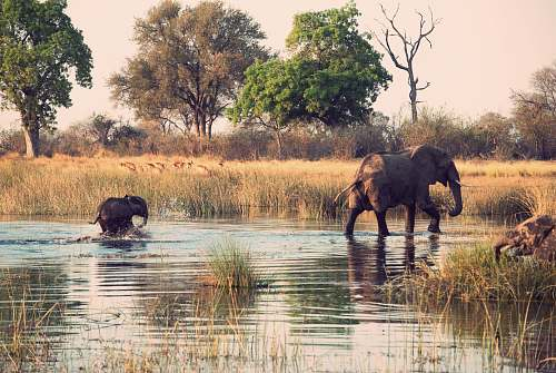 photo wildlife two elephants walking on body of water elephant free for commercial use images