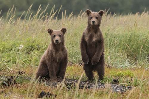 wildlife two gray bears in green lawn grasses bear