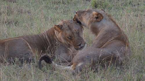 mammal two lionesses on field lion