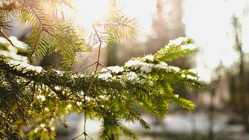 tree green pine tree leafed cover ice conifer
