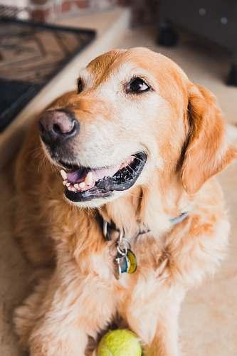 pet selective focus photo of golden retriever dog canine
