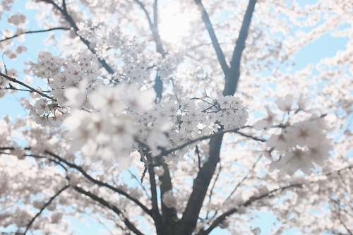 photo blossom white cherry blossom tree under clear blue sky spring free for commercial use images