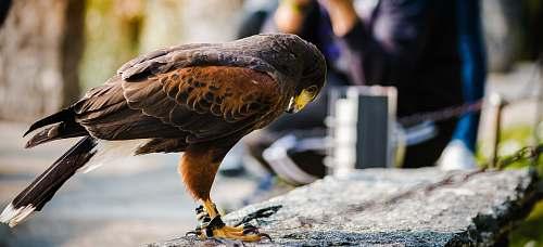 bird brown bird on gray concrete fence hawk
