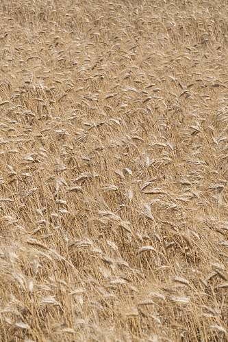 grain brown wheat fields wheat