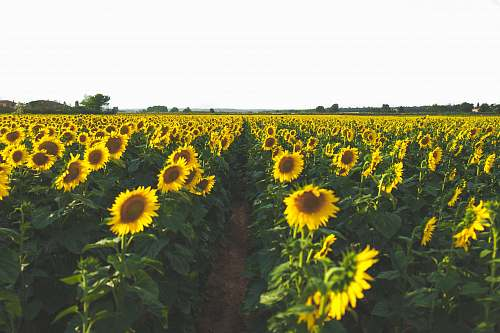 plant yellow sunflower field blossom