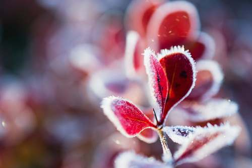 ice red-leaf plant outdoors