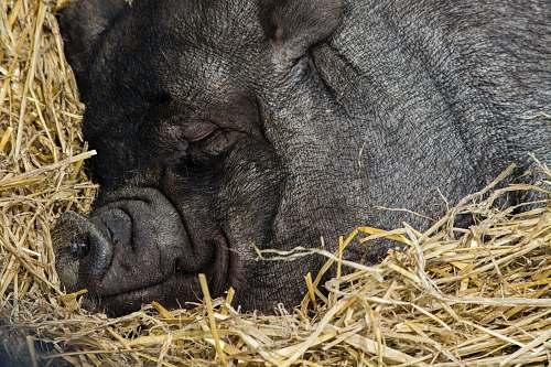 animal close up photography of black pig sleeping sleeping