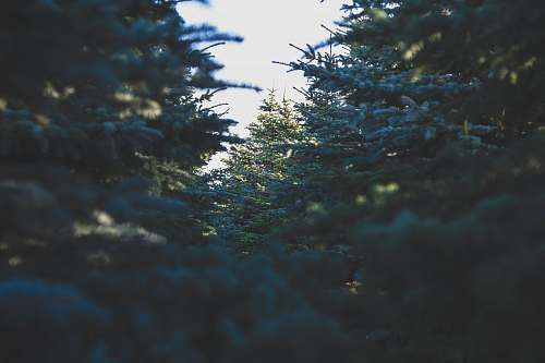 trees green pine trees at daytime sunlight