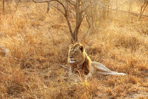 photo  lion lying at the wild beside bare tree during day  free for commercial use images