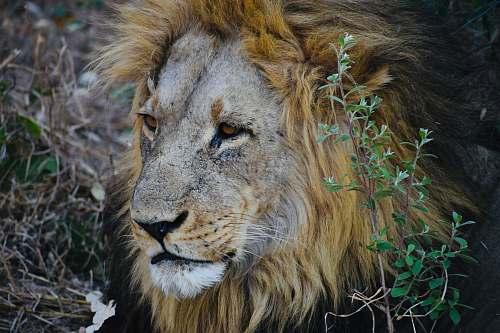 mammal adult lion beside plants wildlife
